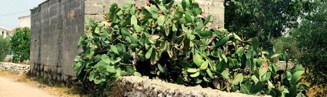 mangia-bene-blog-prickly-pear