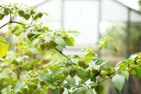 tomatillos-garden