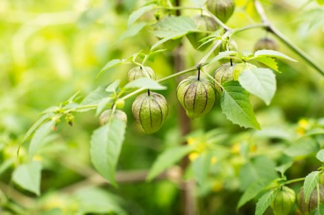 tomatillo-growing