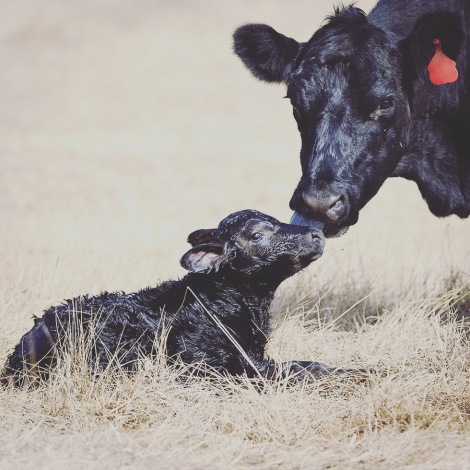 mother-cow-and-baby